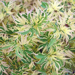 Acer palm. 'Butterfly'